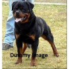 Rottwieller puppy on Sale in Ahmedabad