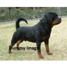 Rotweiler Puppies Available Male For Sale