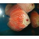Singapoor Breed Discus Fish For Sell
