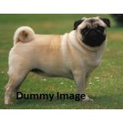 Very Naughty Cute Pug Male Puppy For Sale