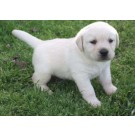 I Want To Sell A Labrador Puppies