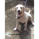 2 Years Male Labrador For Sale