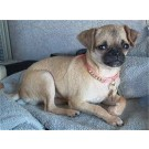 7 months pug pup for sale