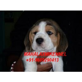 Registered Beagle Puppies for sale with all Documents at Mahalaxmikennel