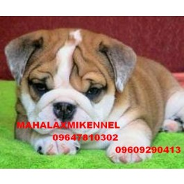 Bull Dog Puppies for sale -Mahalaxmikennel