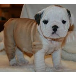 45–60 Days Cute Bull Dog Puppies for Sale at your loving Homes Mahalaxmikennel