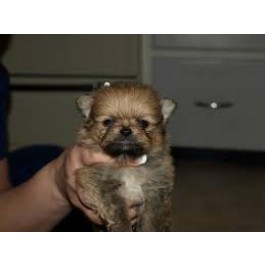Mahalaxmikennel Pedigree Pomerian Puppies For Sale