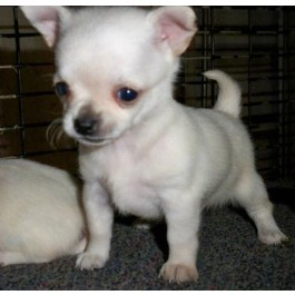 Mahalaxmikennel Chihuahua Puppies for Sale Through All Over India