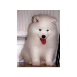 Mahalaxmikennel Samoyed Puppies for Sale, India, Pets