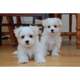 Registered Maltese Puppies for sale with all Documents at Mahalaxmikennel