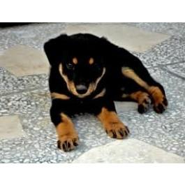 Amazing Doberman Puppies at Mahalaxmikennel all dog lovers
