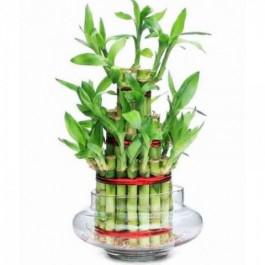 Green Indoor Bamboo Plants from Gergstore
