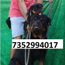 heavy bone of rottweiler german shepherd labrador retriever pug at raj pet shop on 7352994017