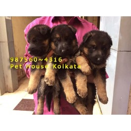Top Quality LABRADOR Dogs available for sale At PET HOUSE KOLKATA