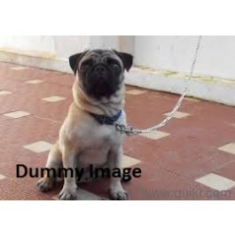 4 Months Pug Male puppies Sale