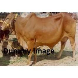Very Best Sahiwall Cow For Sale
