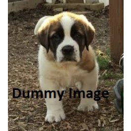 saint brnard puppies only for Sale