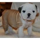 Mahalaxmikennel Pedigree Bull Dog Puppies For Sale