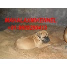 Registered Great Dane Puppies Puppies for sale with all Documents at Mahalaxmikennel