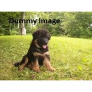 Garman shaped double coat puppi for sale