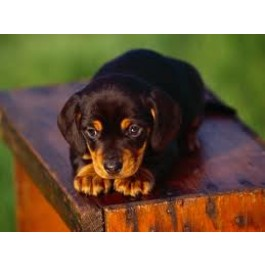 Mahalaxmikennel Dachshund Puppies for Sale Through All Over India