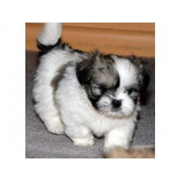 Amazing Lhasa apso Puppies at Mahalaxmikennel all dog lovers
