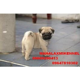 Amazing PUG Puppies at Mahalaxmikennel all dog lovers