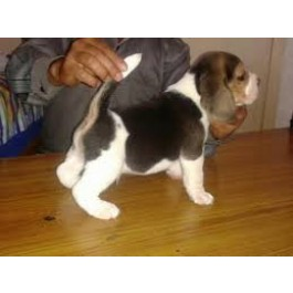 Amazing Beagle Puppies at Mahalaxmikennel all dog lovers
