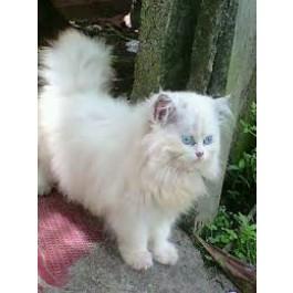 Persian cat price in goa