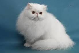 Show Qualities Off Persian Cat Kittens, India, पालतू